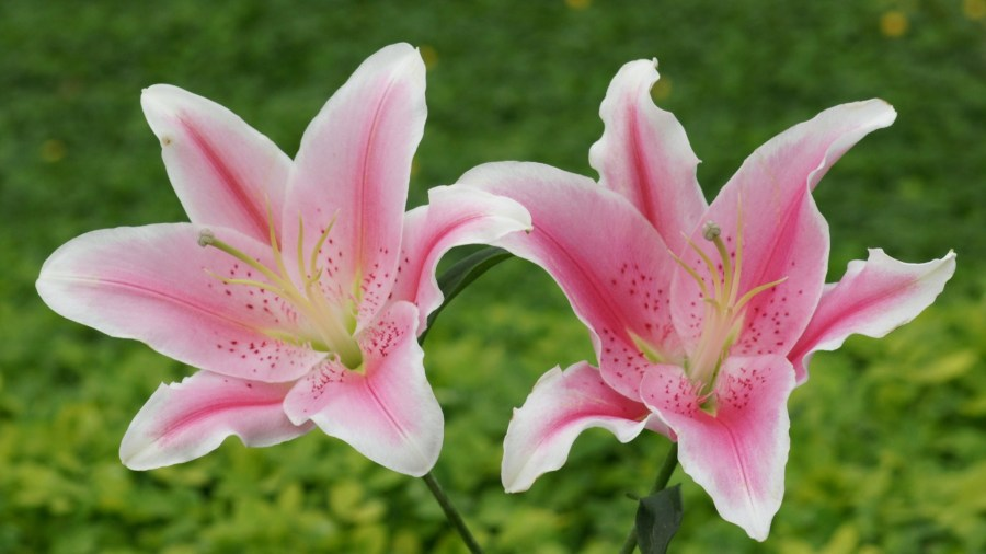 Pink Flowers Lily Hd Wallpaper 2560x1440   Wallpapers13 com Pink Flowers Lily Hd Wallpaper 2560    1440