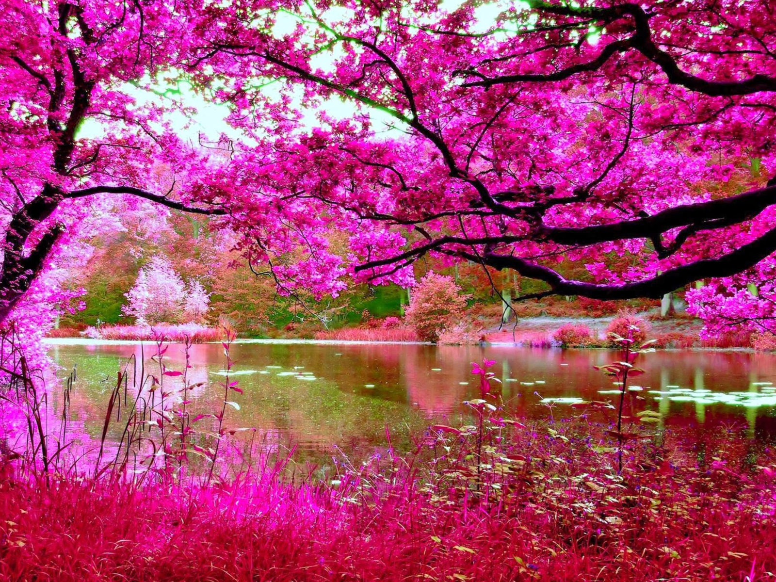 Cherry Blossoms Spring Pink Cherry Tree River Nature Hd Wallpapers 256x1600