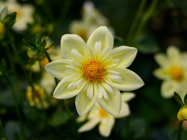 Dahlia Yellow Flowers High Quality Flower Wallpaper For ...