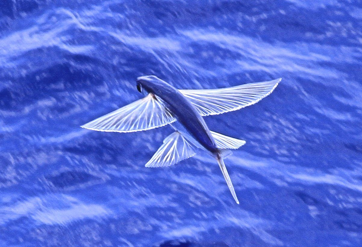 Download Flying Fish Wallpaper Gallery