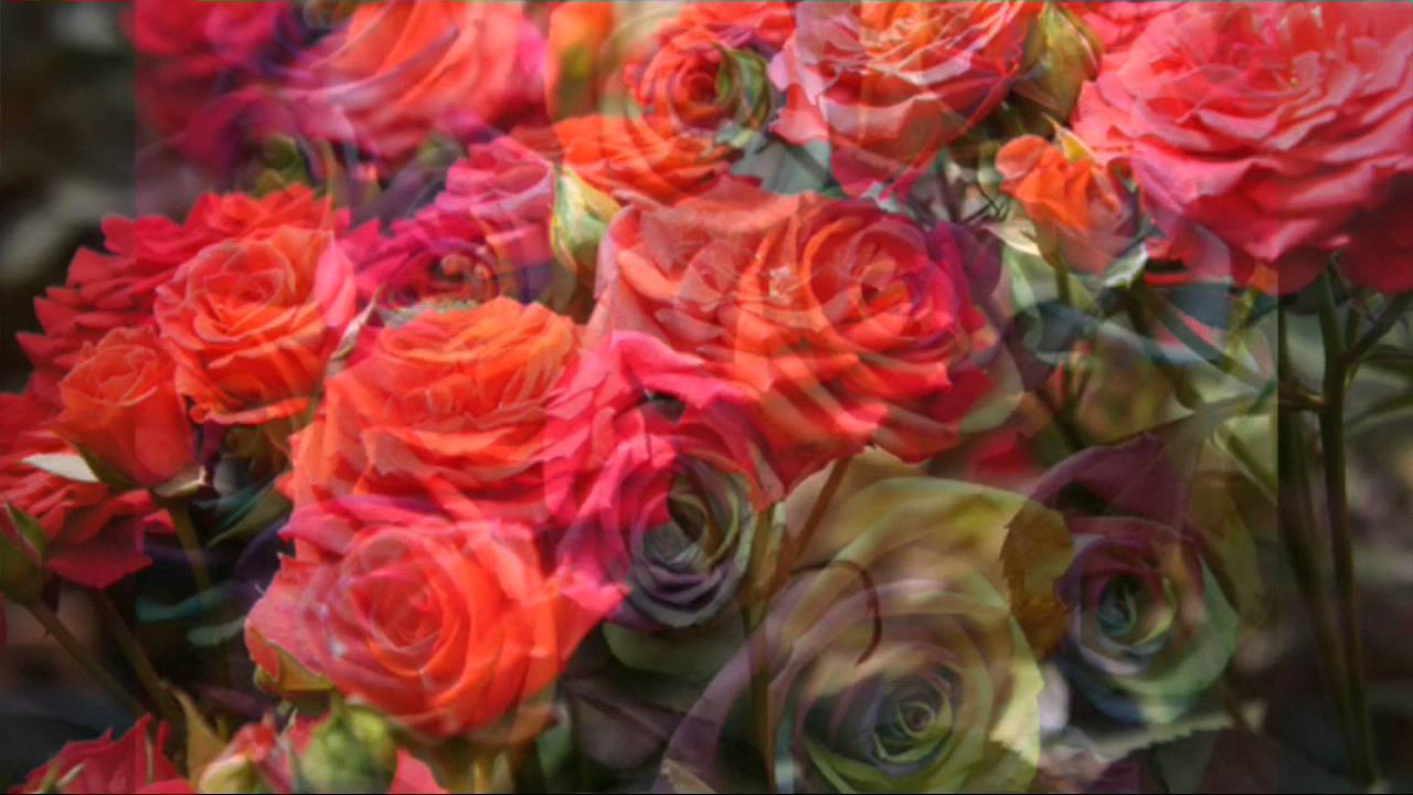 Gulab Ka Phool Wallpaper Download Roses 1280x720 Download Hd Wallpaper Wallpapertip