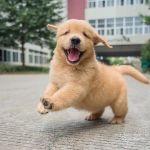 Golden Retriever Puppy Wallpaper Golden Retriever Wallpaper Golden Retriever Cute Puppies 1242x1194 Download Hd Wallpaper Wallpapertip