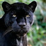 Black Panther Animal Computer Wallpaper Black Leopard Jaguar Animal 1600x900 Download Hd Wallpaper Wallpapertip