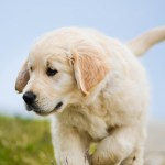 Golden Retriever Puppies Iphone 640x1136 Download Hd Wallpaper Wallpapertip