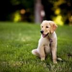 Labrador Puppies 1920x1200 Download Hd Wallpaper Wallpapertip