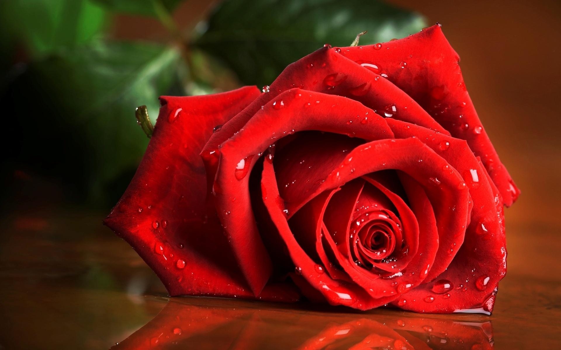 Love Romance Mood Roses Flowers Drops Wallpaper