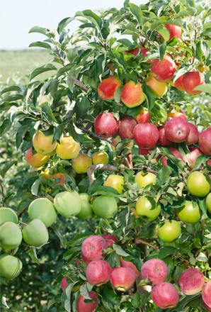 Grafting multiple varieties of asian pear