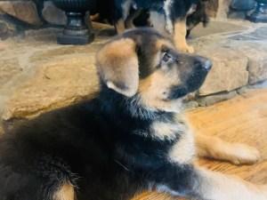 German shepherd Black and Red Puppy