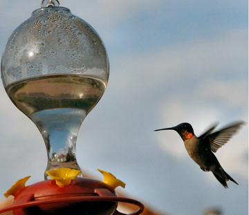 Hummingbirds visit Northwest Florida during fall months ...