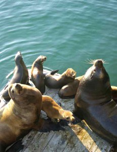 Resident sealions at the Santa Cruz wharf.