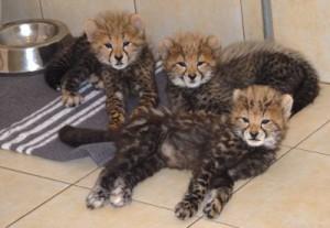 Cubs Heathcliff, Garfield and Felix relax at Cub House.
