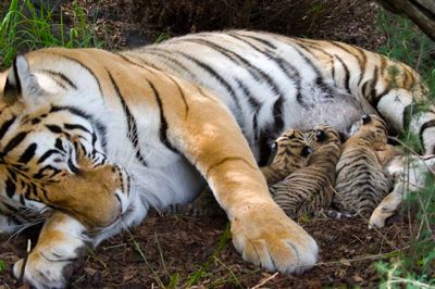Julie and cubs