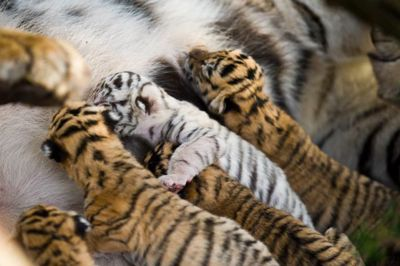 Julie and her cubs.