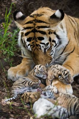 Tiger Julie and cubs including white tiger cub, South Africa. Photo Daryl Balfour.