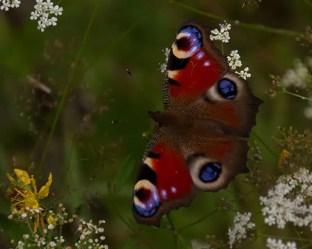 In der Nähe des Schäferwagens wachsen unzählige Wildblumen und -kräuter, ein Paradies für Schmetterlinge.