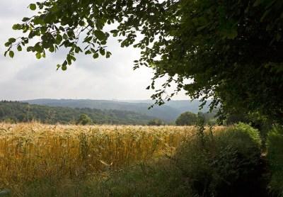 Kornfeld im Sommer