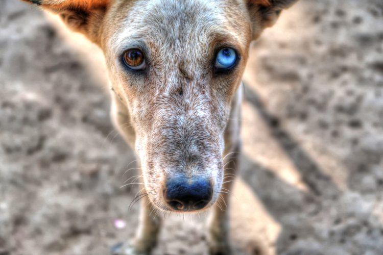 a dog with a cataract