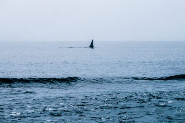Canada - killer whale