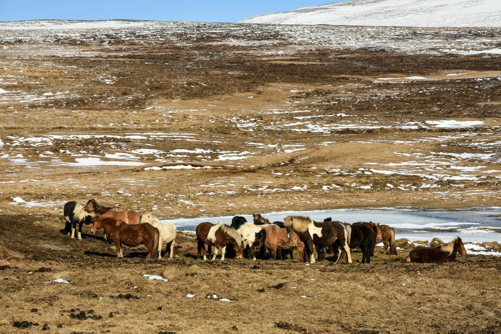 Wild Iceland Ponies
