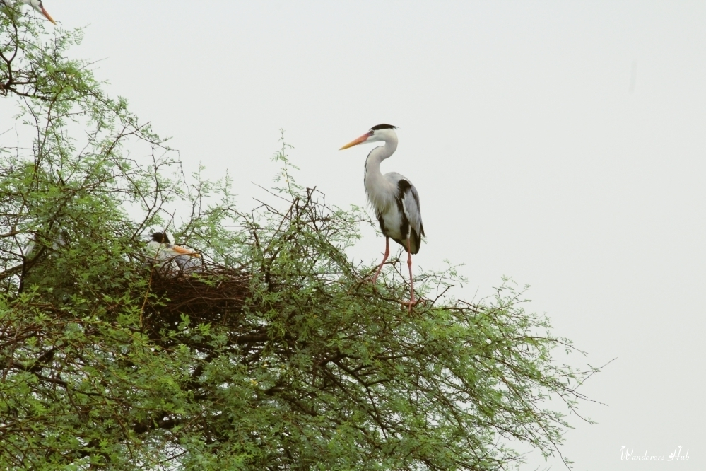 Grey herons Bharatpur Bird Sanctuary