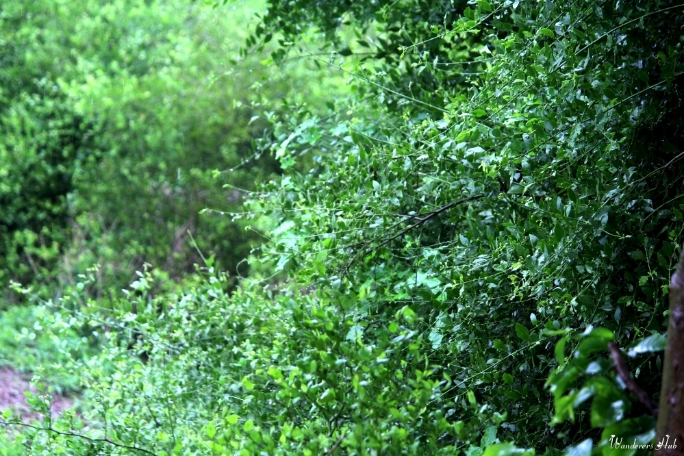 Thick patches of entangled trees at Bharatpur Bird Sanctuary