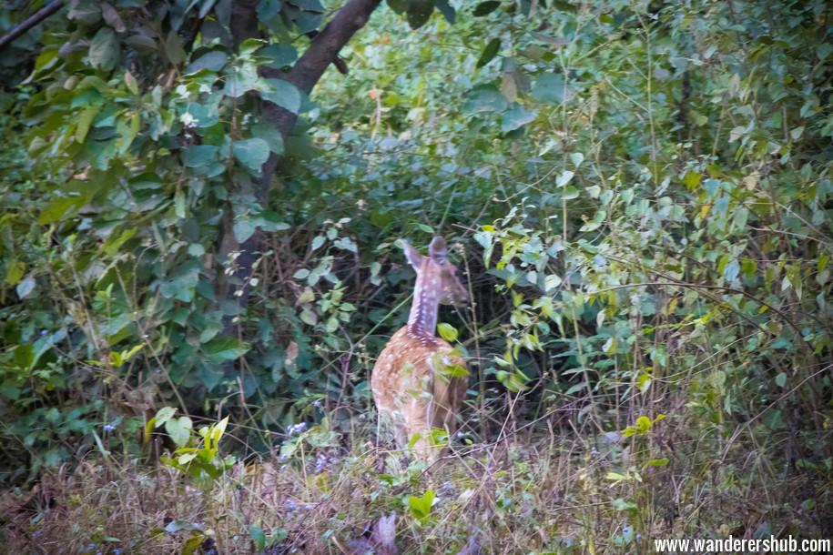 Deers in Corbett