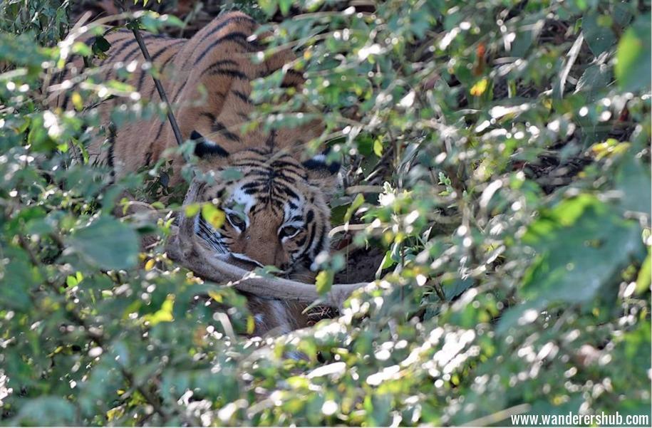 Tigers in Jim Corbett