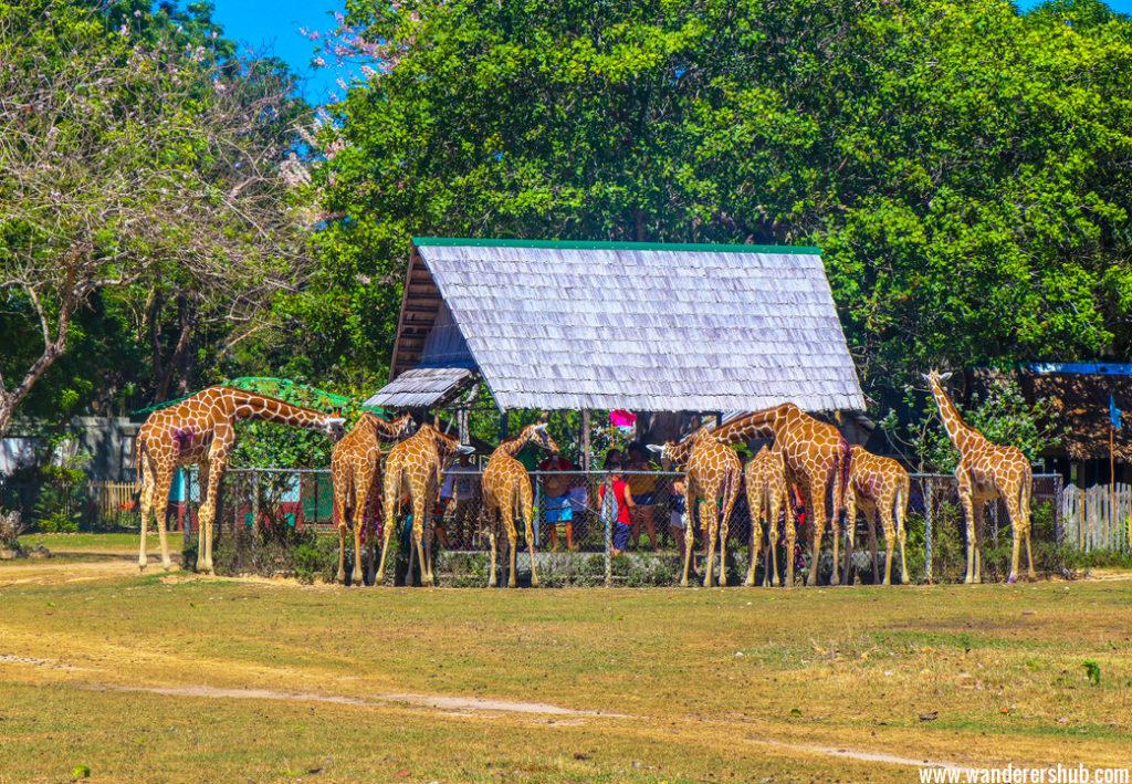 Giraffes Calauit Safari Park