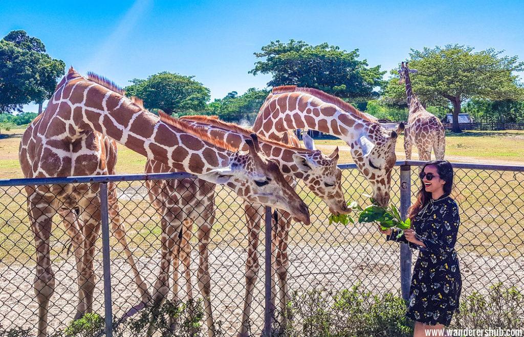 feeding at Calauit Safari Park