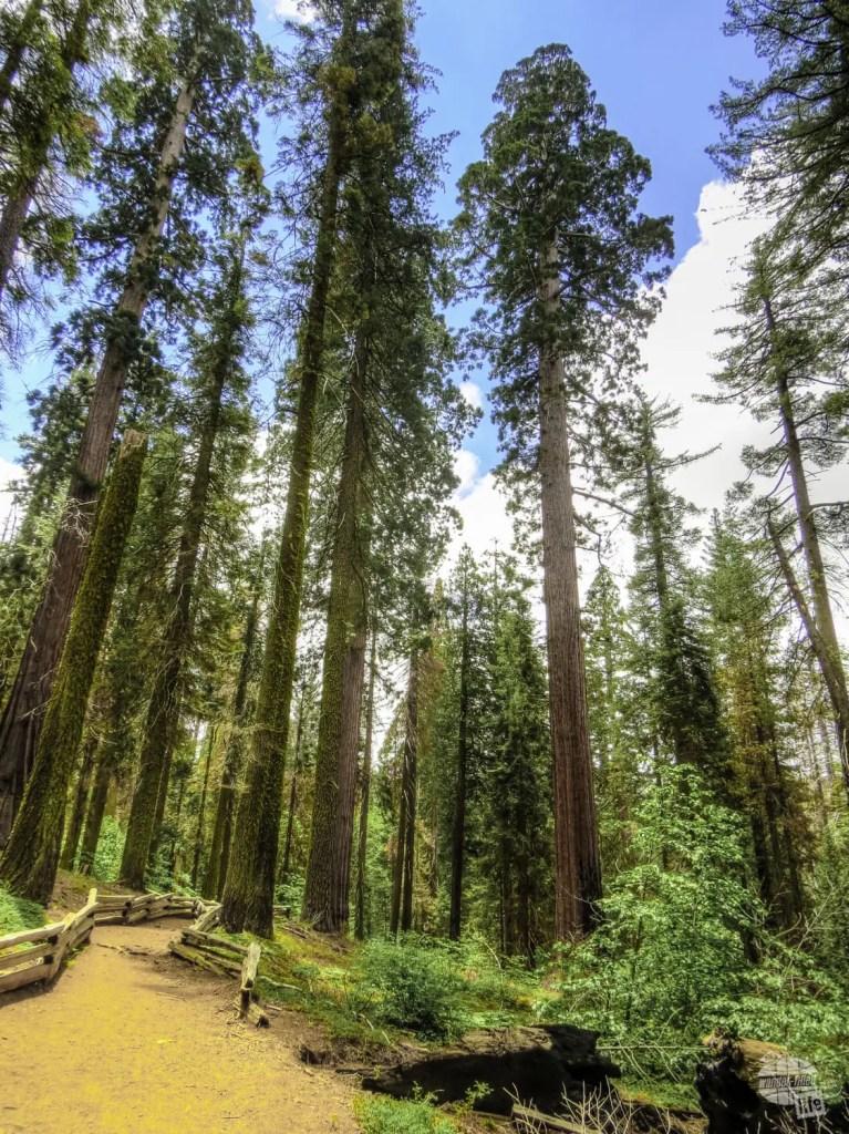 Tuolumene Grove inb Yosemite National Park