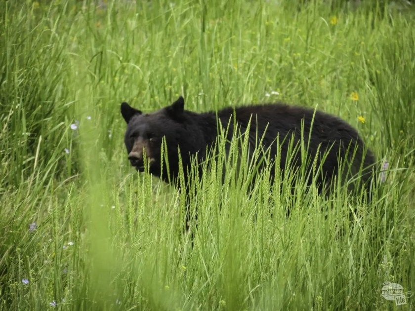 We met bears on one of our Yellowstone hikes!