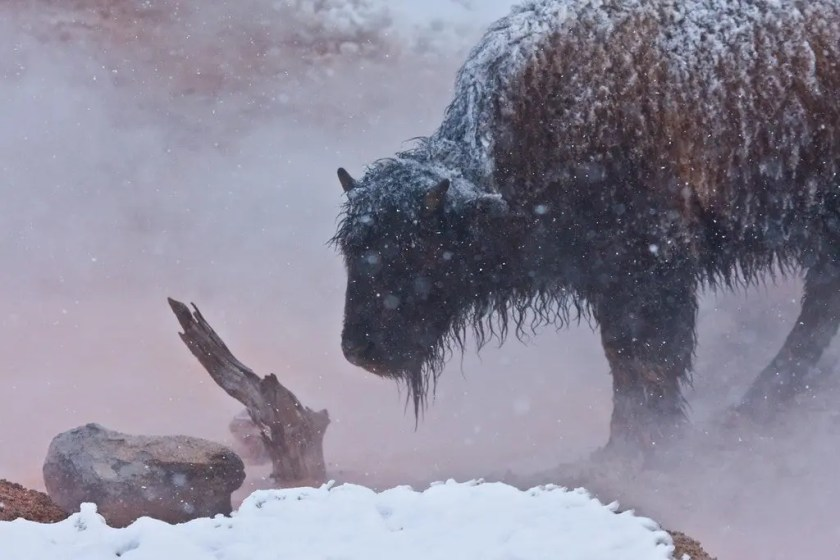Bison enjoy the Yellowstone thermal features, too.