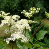 Mädesüss - eine weitere Heilpflanze am Wanderweg