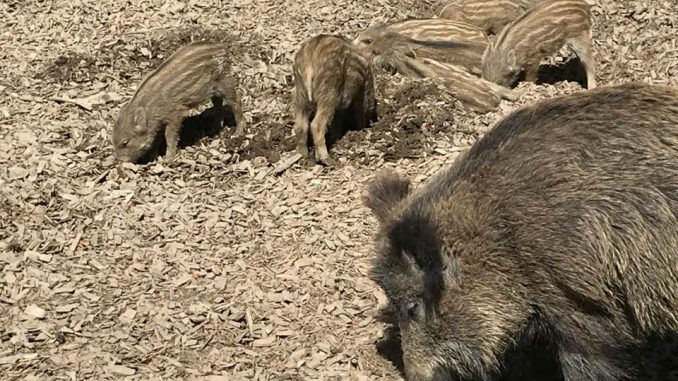 Tierpark Feldkirch, Wildschweine