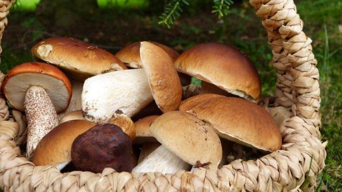 Pilze sammeln und zubereiten