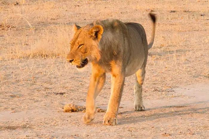 Lion debout