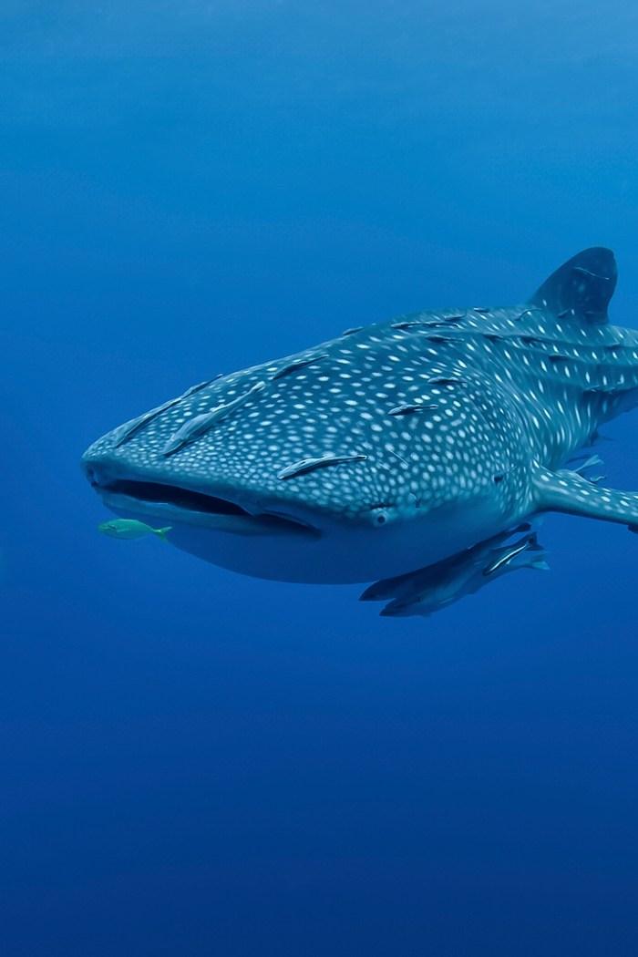 Nurkowanie z rekinami wielorybimi na Filipinach. Oslob vs. Donsol.