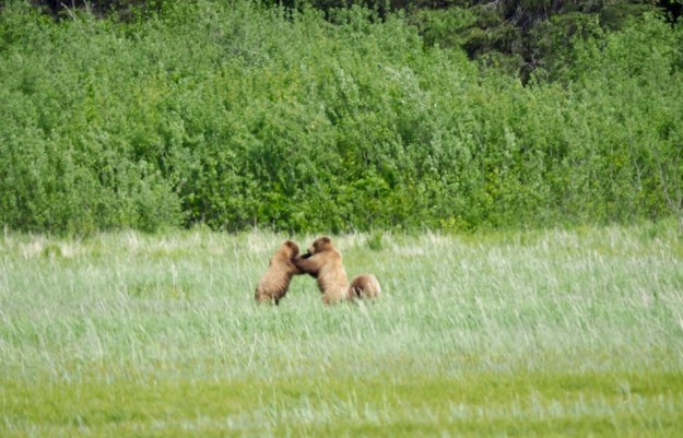 alaska-bears-playing-chinitna-bay
