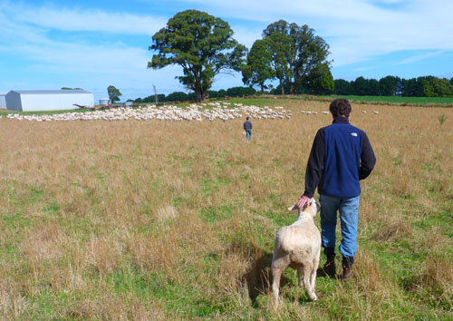 Feeding sheep in Trentham