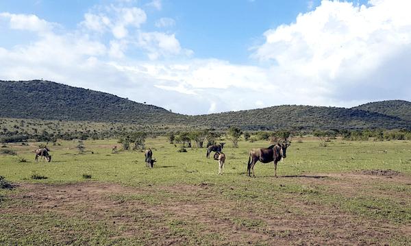 Masai Mara Safari - wildebeest