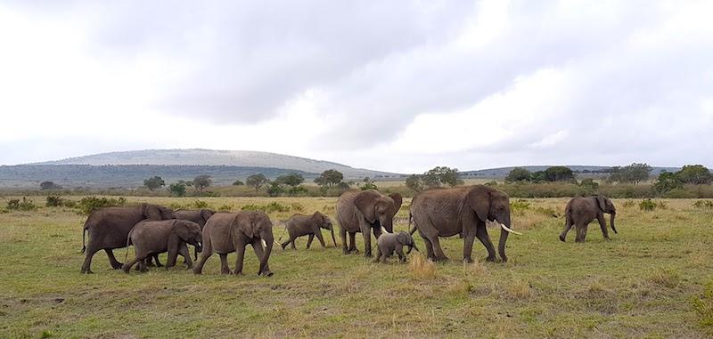 Masai Mara safari - elephants