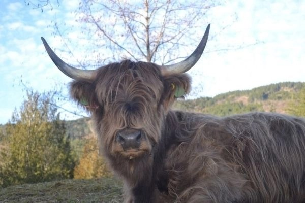 best farm animals to raise Ellie the Scottish Highland resting with a mountain behind her