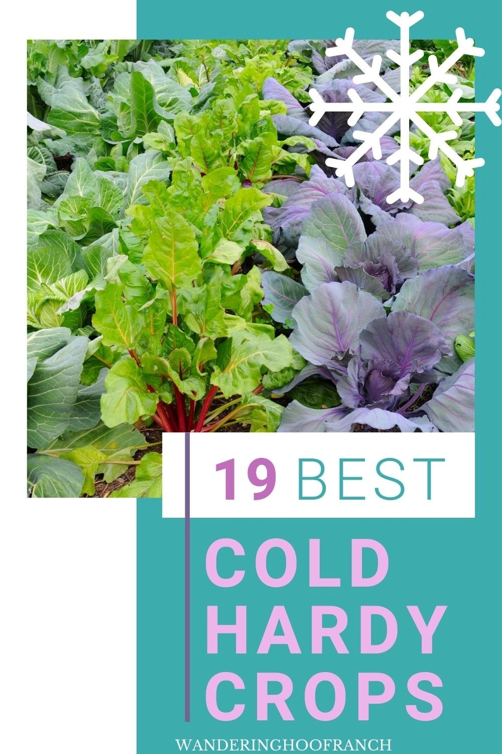 winter vegetable garden Pinterest image of Swiss chard, cauliflower and cabbage growing. Grow vegetables in winter with the free cheatsheet seen here that changed my garden life forever. It's time to skip the product section this winter and save big. Click here to grab the free 6 steps to a winter garden cheatsheet.
