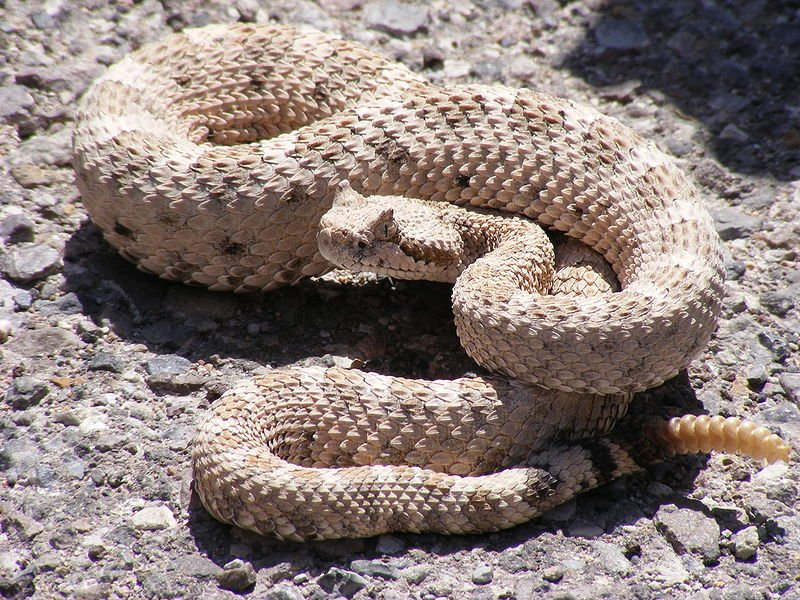 How to Handle a Rattlesnake Bite – and Other Tips