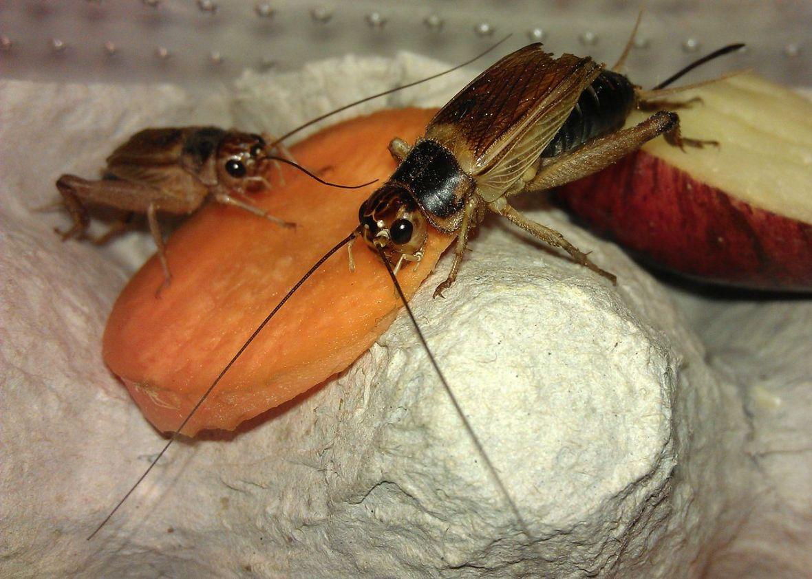 eat crickets