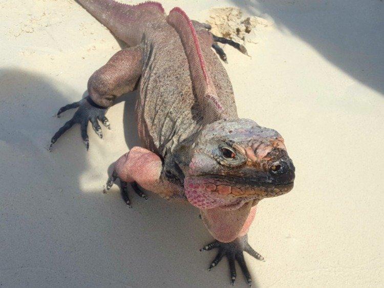 lizard exumas
