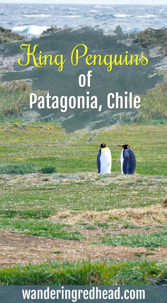 Penguins of Chile