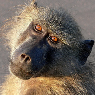 Baboon ~ Photo by Arno & Louise Wildlife