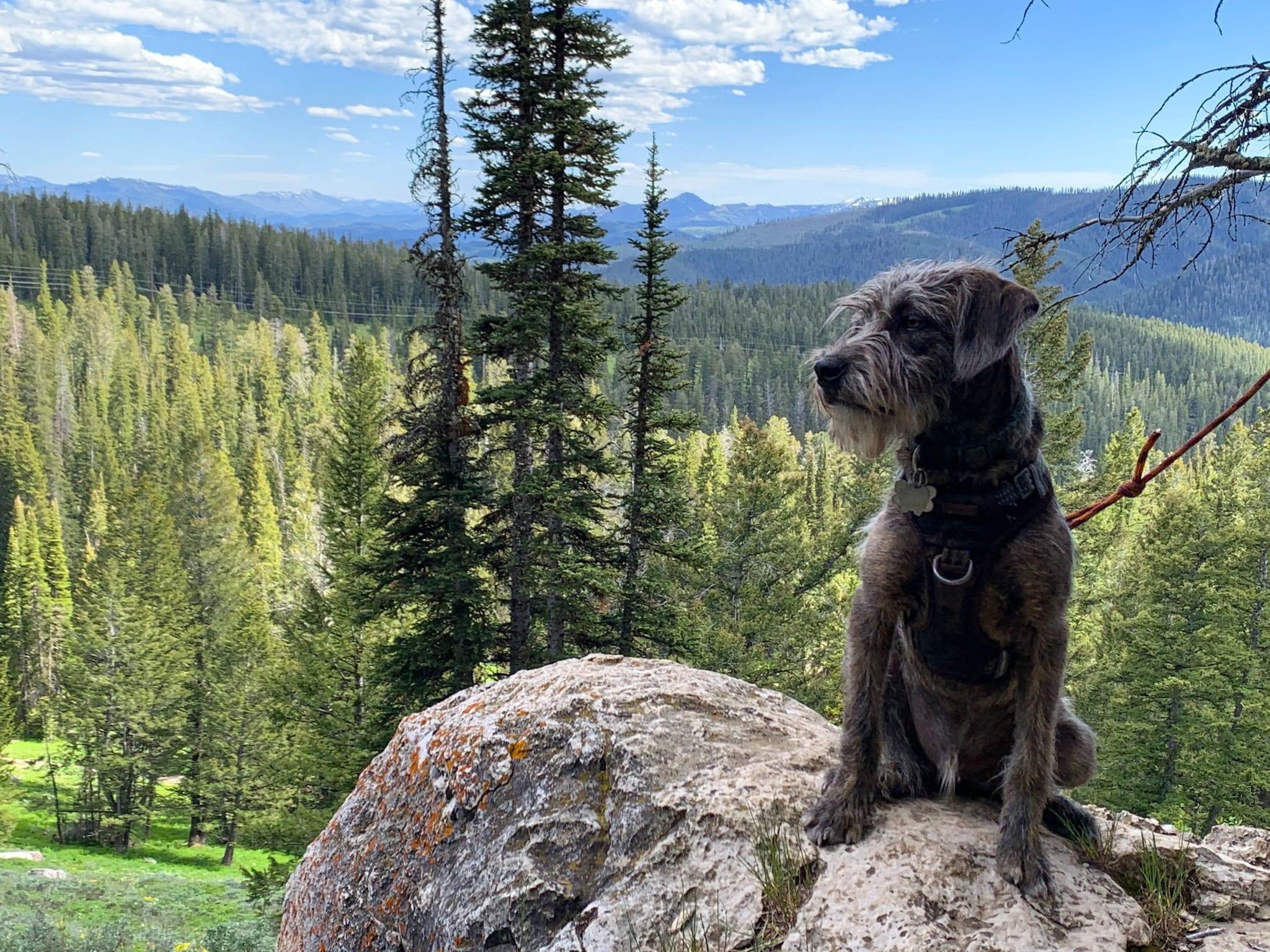 Huey posing on Ski Lake Trail in Wyoming