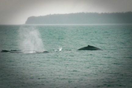 Humpback whale bubble net fishing in Stephen's Passage, Juneau.